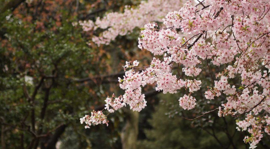 Cerisier en fleurs à tailler